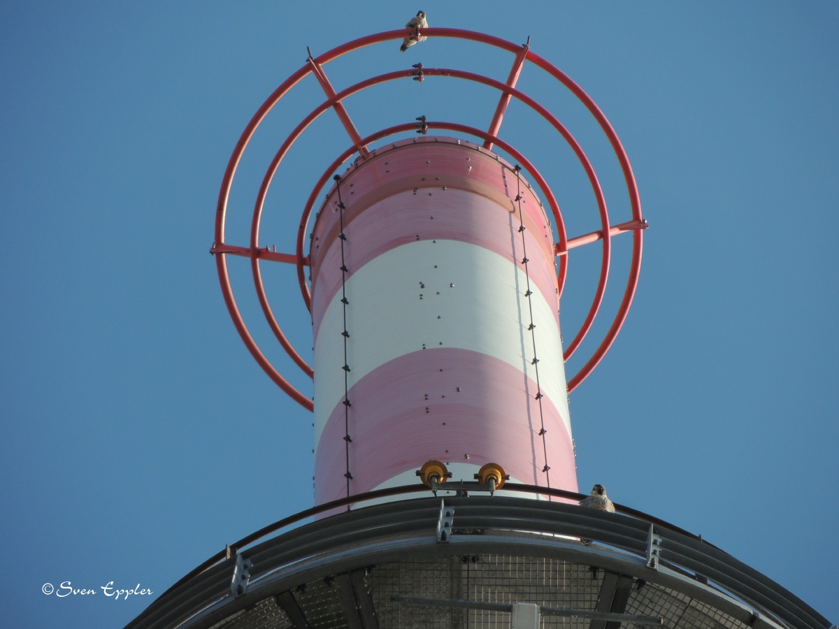 Wanderfalkenpaar auf Turmspitze