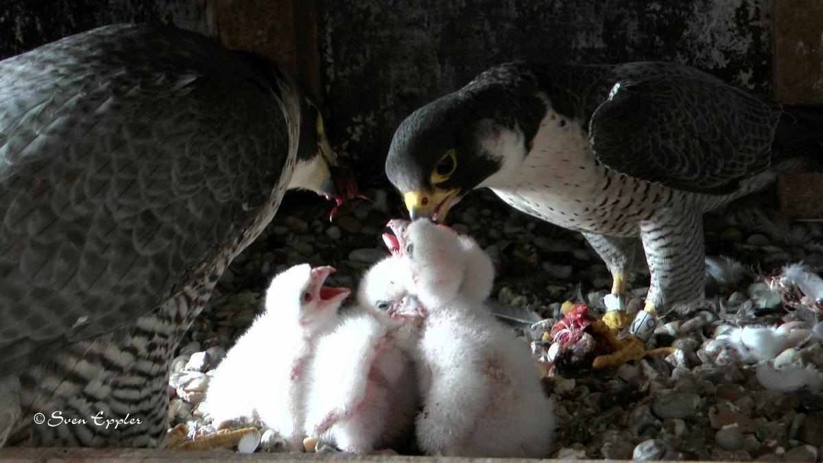 Weibchen und Männchen füttern die Küken gemeinsam