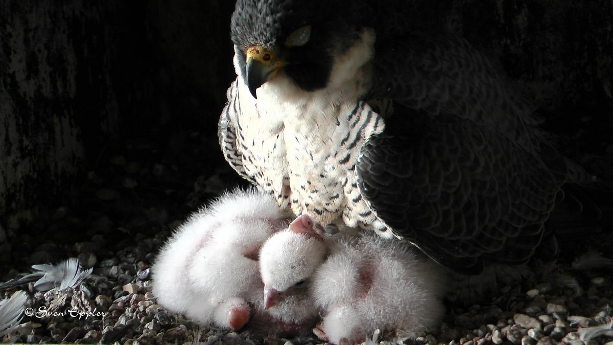 4 gehuderte Falkenküken vom Männchen