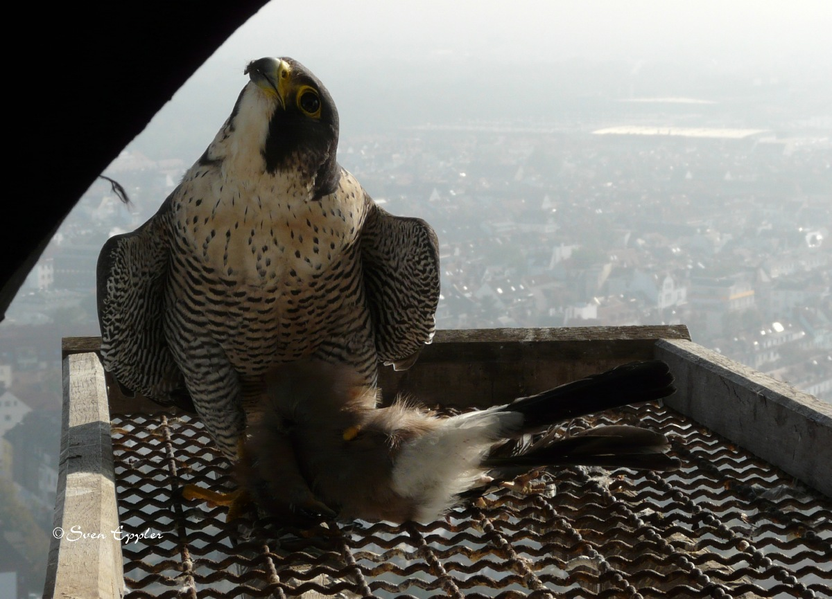 Falke mit Eichelhaer