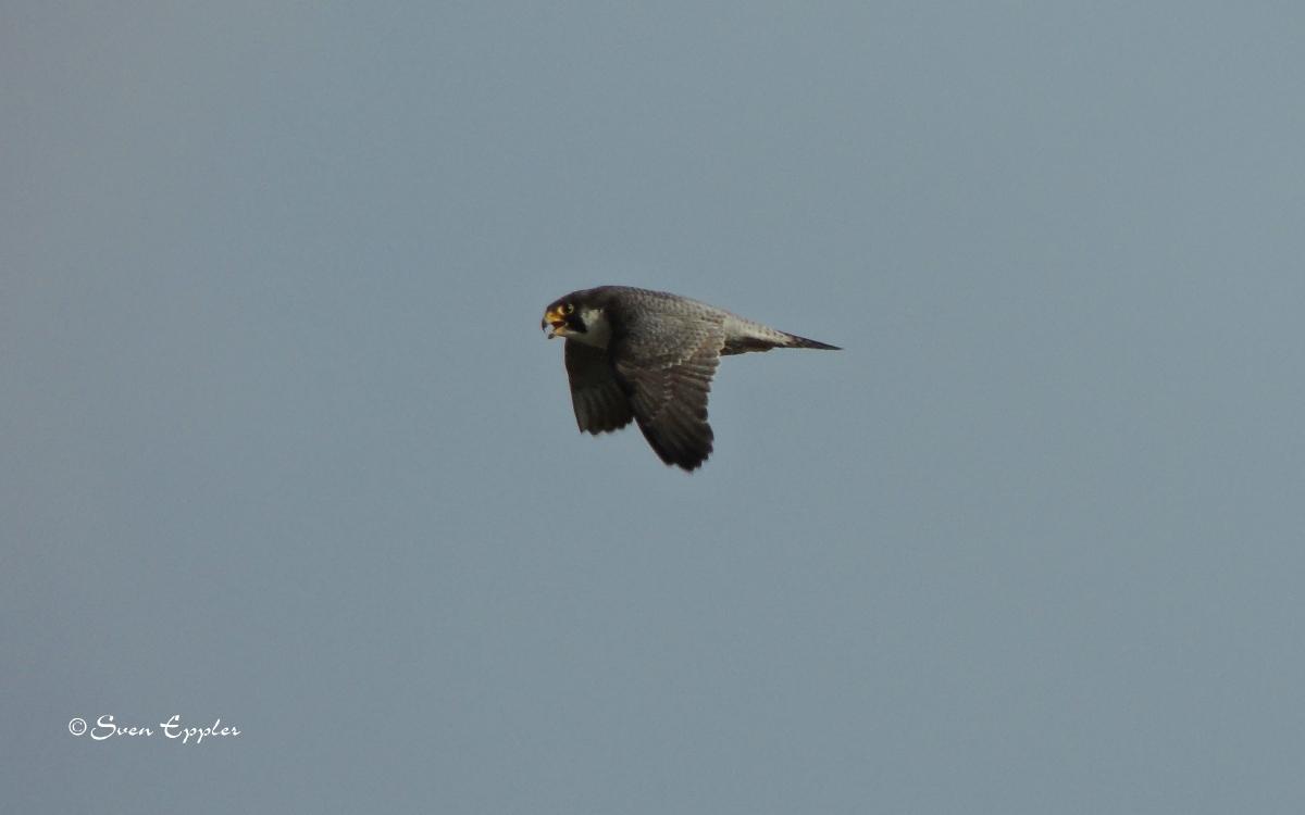 Kreisender Falke