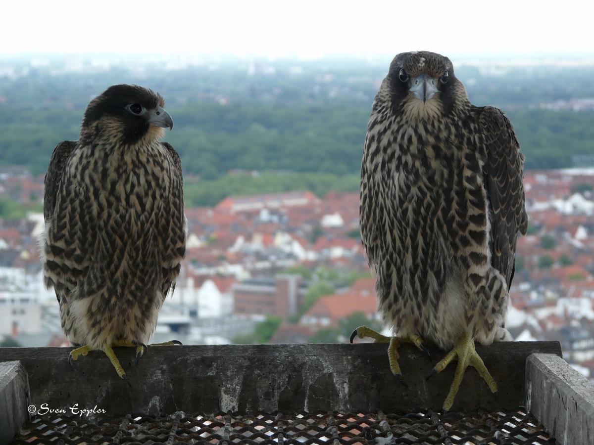 Größenunterschied Weibchen(rechts) Männchen(links)