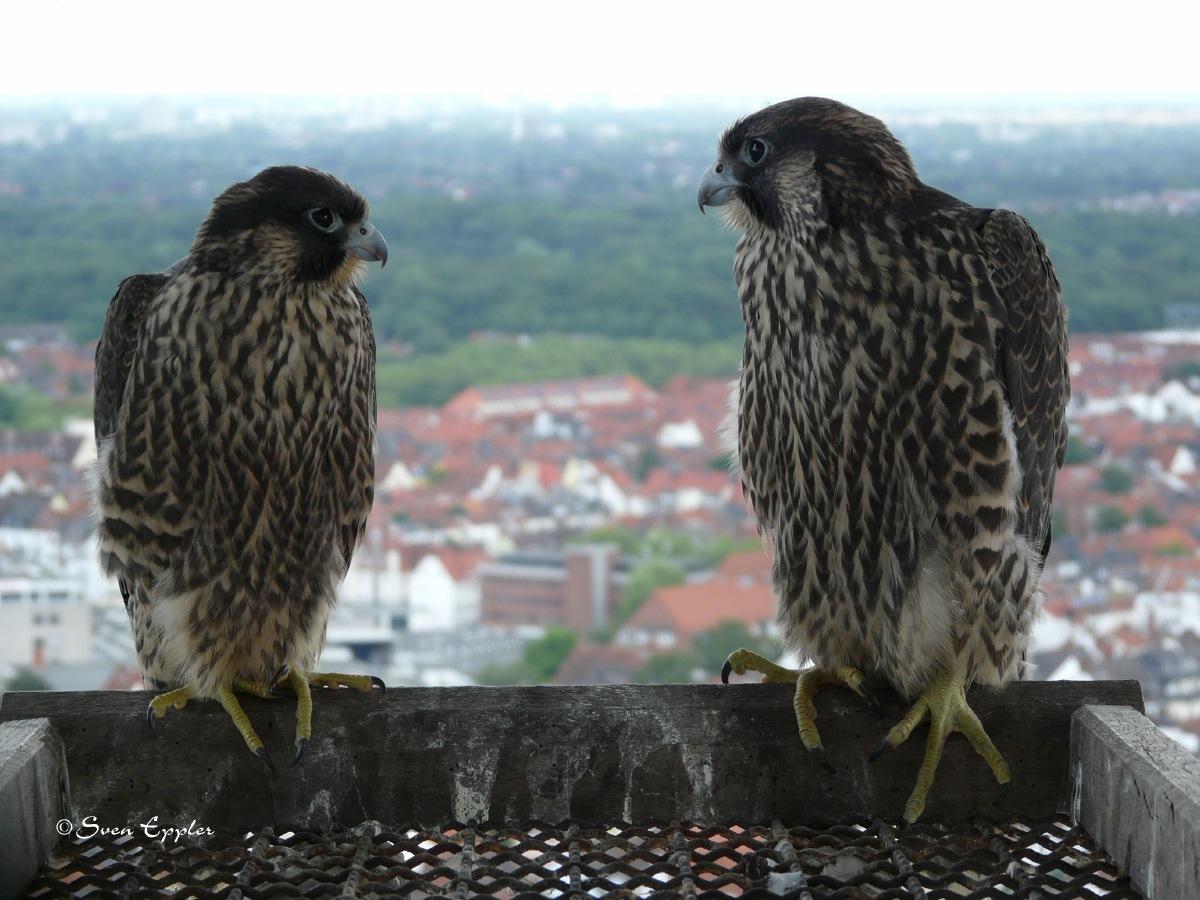 Zwei Junge Wanderfalken über Bremen