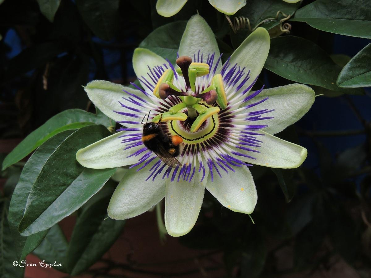 Hummel auf Passiosblume