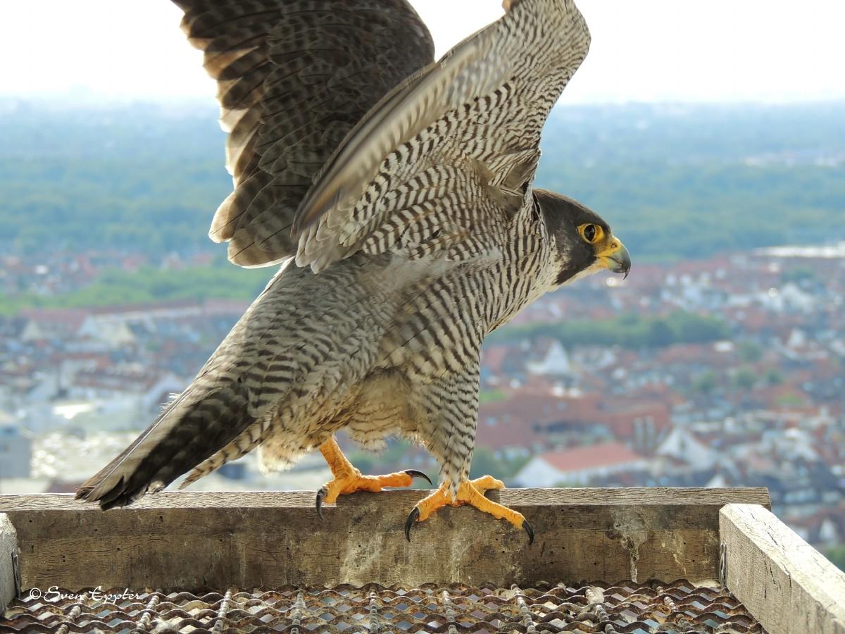 Weibchen fliegt ab zur Jagd
