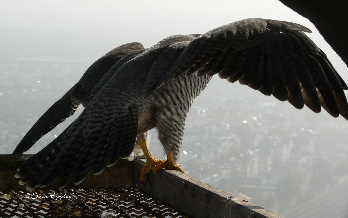 Falke bei dem Abflug