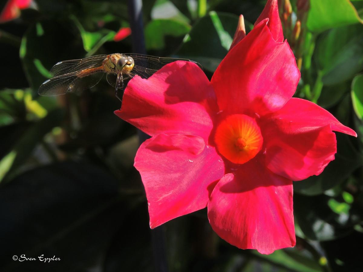 Libelle auf Dipladenienblühte