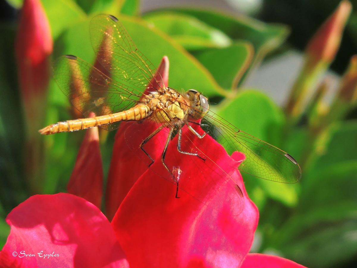 Heidelibelle auf Blüte