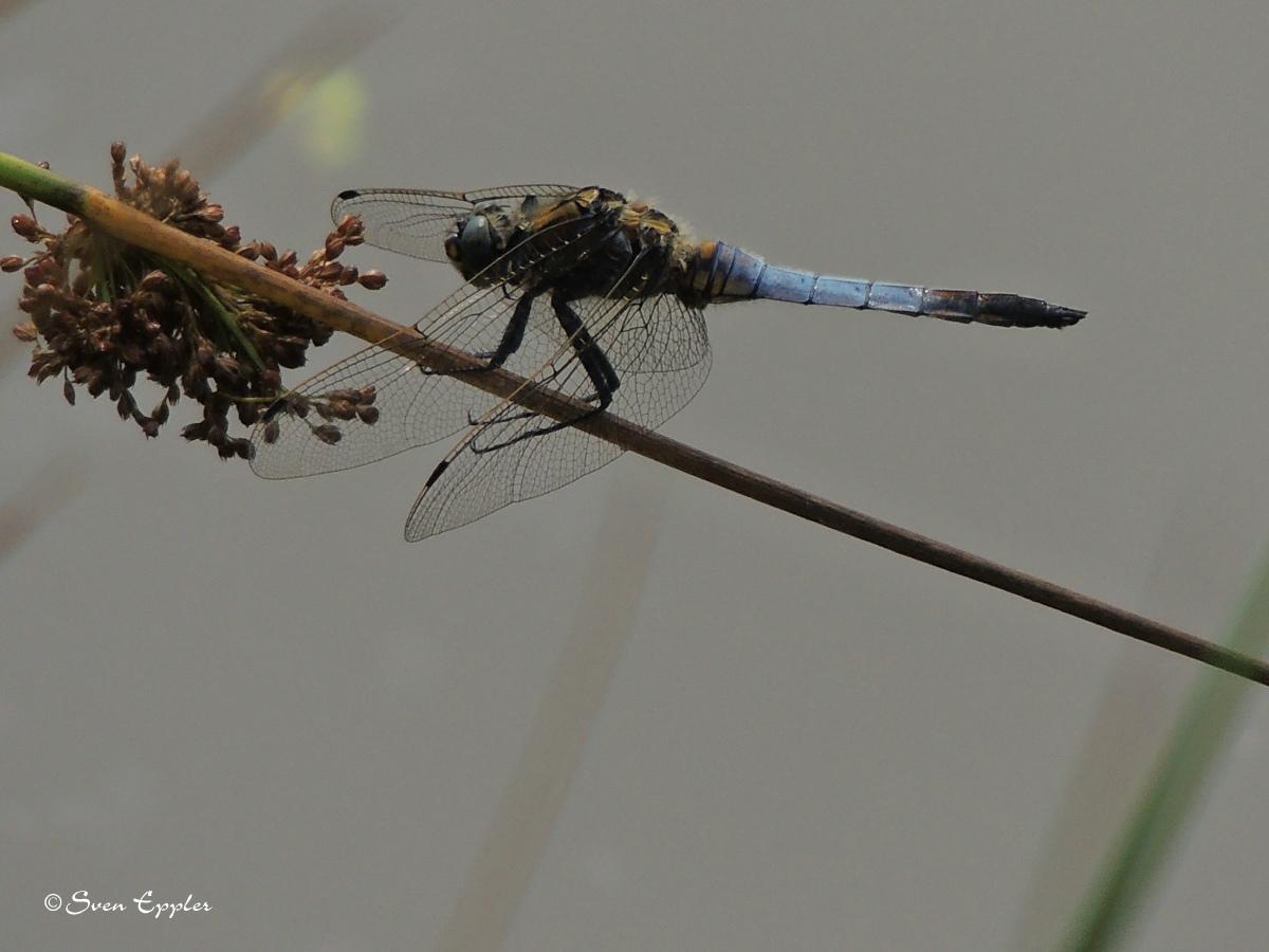 Plattbauchlibelle überm Wasser