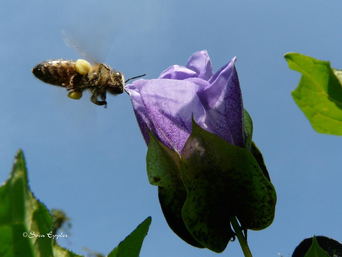 Biene im Anflug auf Glockenblume