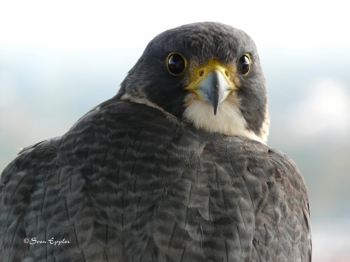 Brutplatzkontrolle des Falken