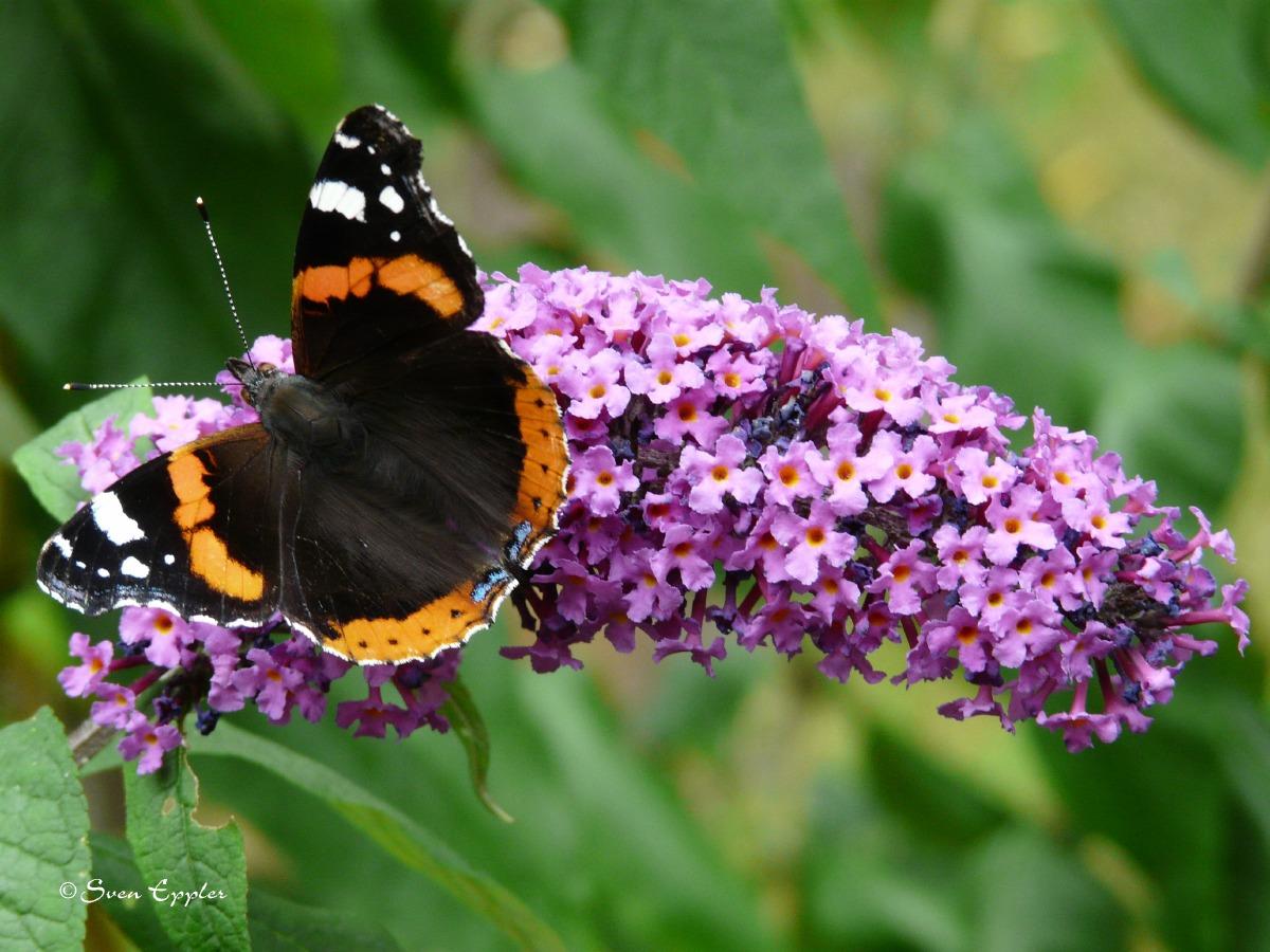 Admiral auf Schmetterlingsstrauch