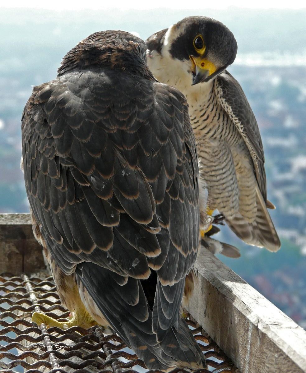 Altvogel versorgt Jungfalken