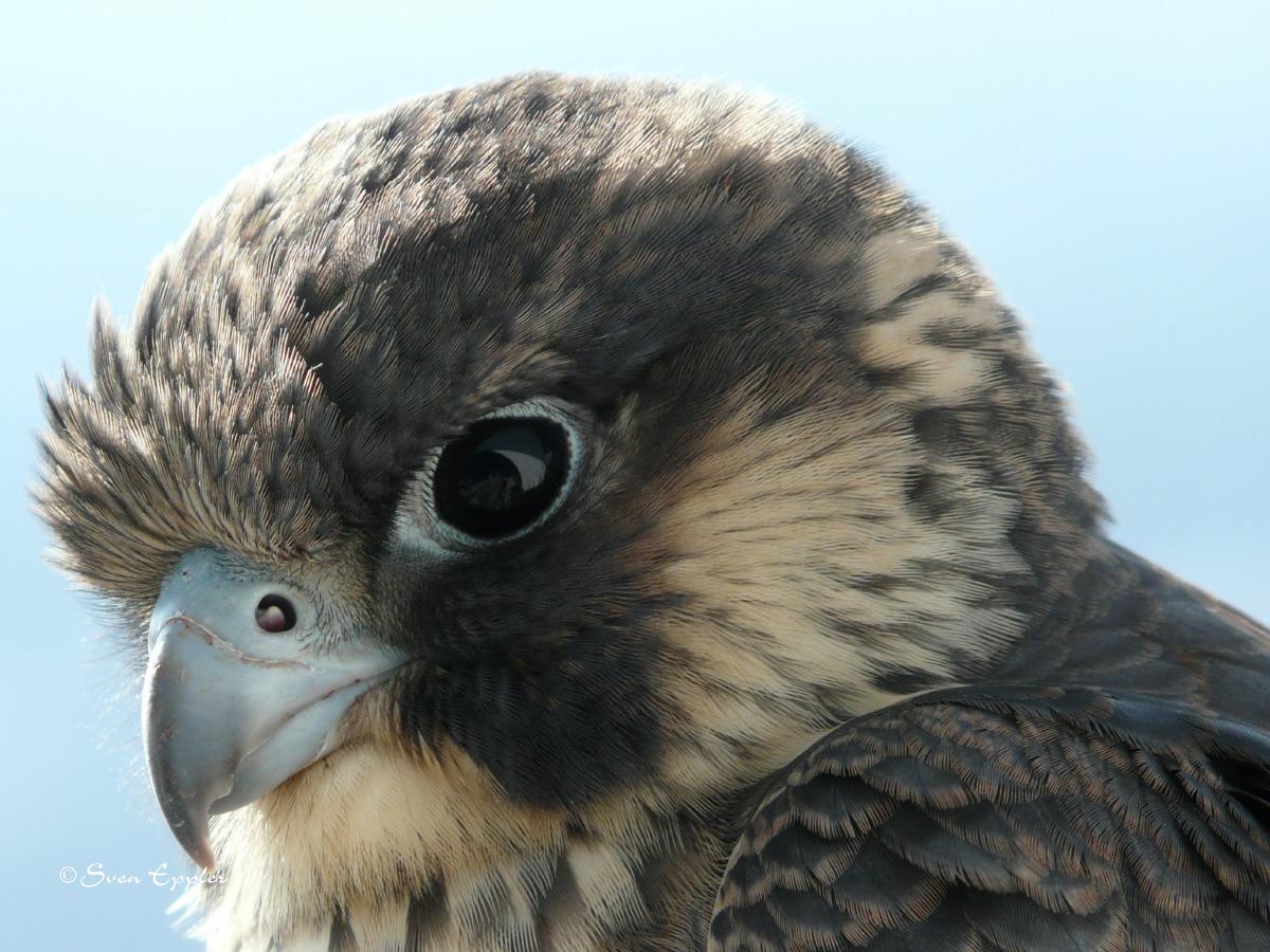 Falkenkopf