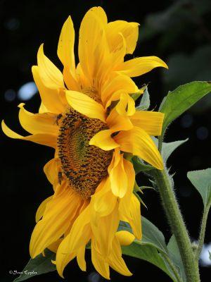 Sonnenblume mit Schwebfliegen