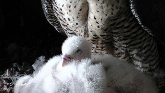 Falkenküken mit Altvogel