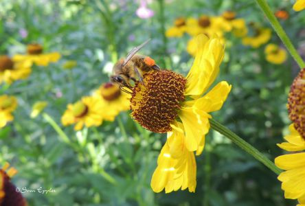 Biene auf Pollensuche