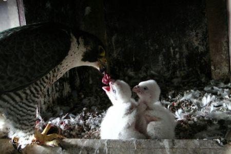 Weibchen füttert die Küken