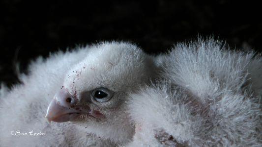 Falkenküken noch mit Eizahn