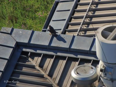 Gebäudekante mit Falke