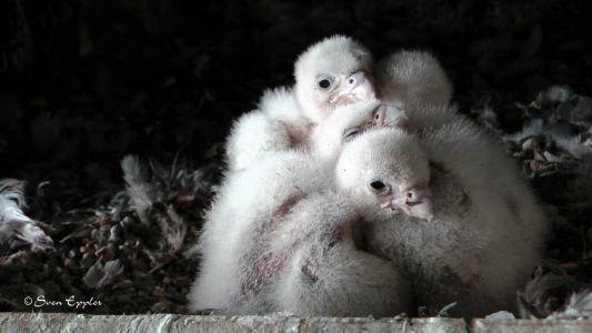 Falkenküken zu viert