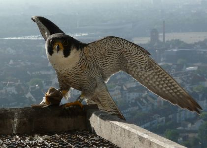 Falke mit Kleinvogel für die Küken