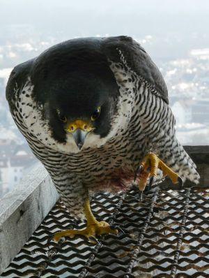 Der Falke nach der Jagd