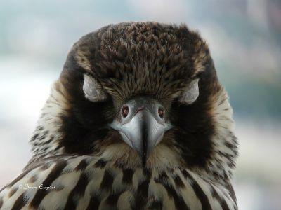 Nickhaut der Augen beim Wanderfalken