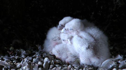 4 Falkenküken wärmen sich