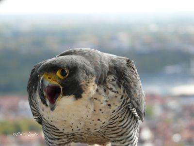 Brutwechselankündigung des Falkenweibchens