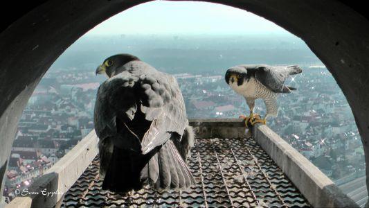 Falkenmännchen führt den Brutplatz vor