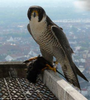 Der Falke mit Beute