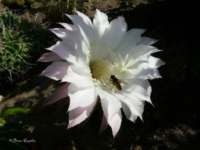Kakteenblühte