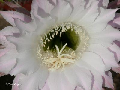 Blühtentrichter