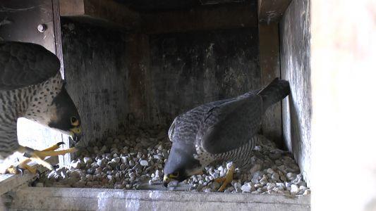 Das beringte neue Weibchen wird zum Brutplatz gelockt Februar 2019